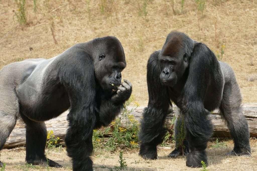 gorilla diersoorten die op uitsterven staan