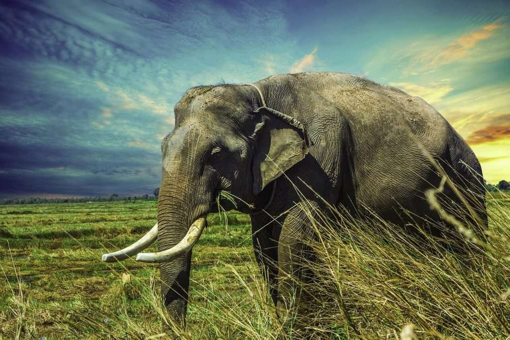 olifant diersoorten die op uitsterven staan