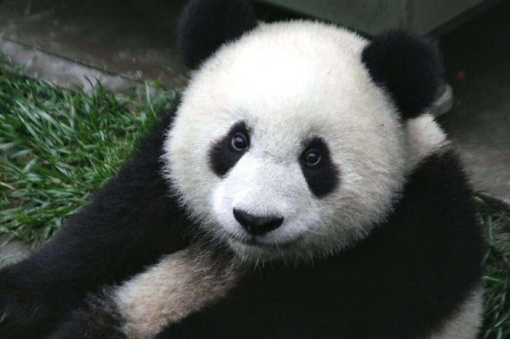 reuzenpanda diersoorten die op uitsterven staan