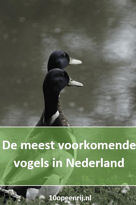 De meest voorkomende vogels in Nederland
