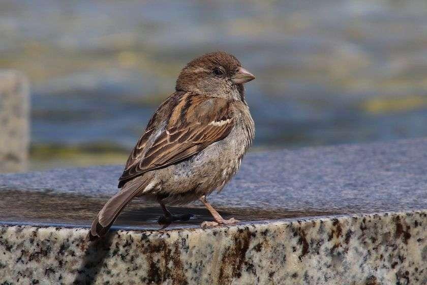 Huismus De meest voorkomende vogels in Nederland