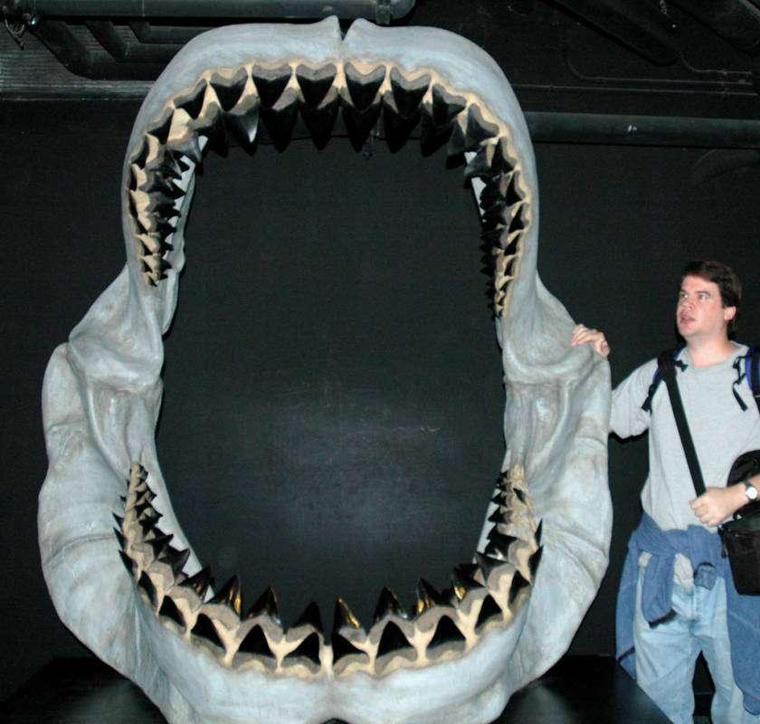 Kaak van de Megalodon - Aller grootste dieren op een rij
