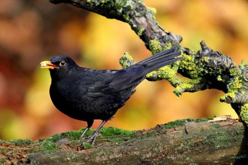 Merel De meest voorkomende vogels in Nederland