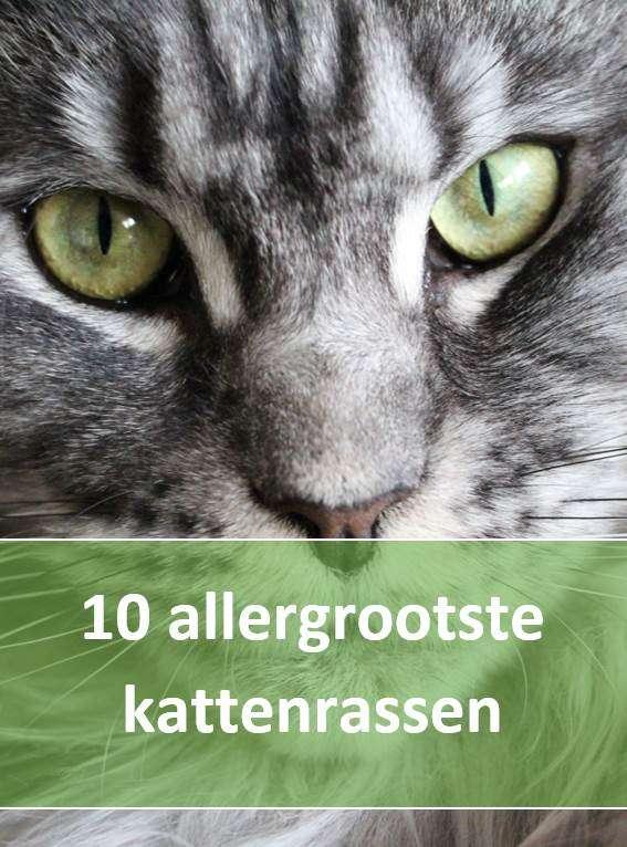 10 allergrootste kattenrassen