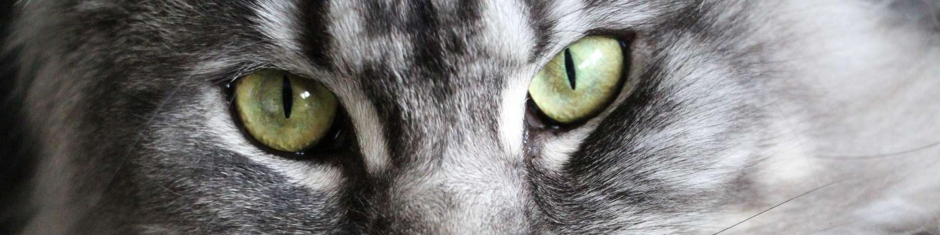 Grootste kattenrassen