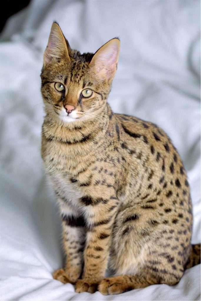 Savannah | Grootste kattenrassen